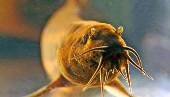 Рыба Вьюн: фото, описание, содержание, где водится