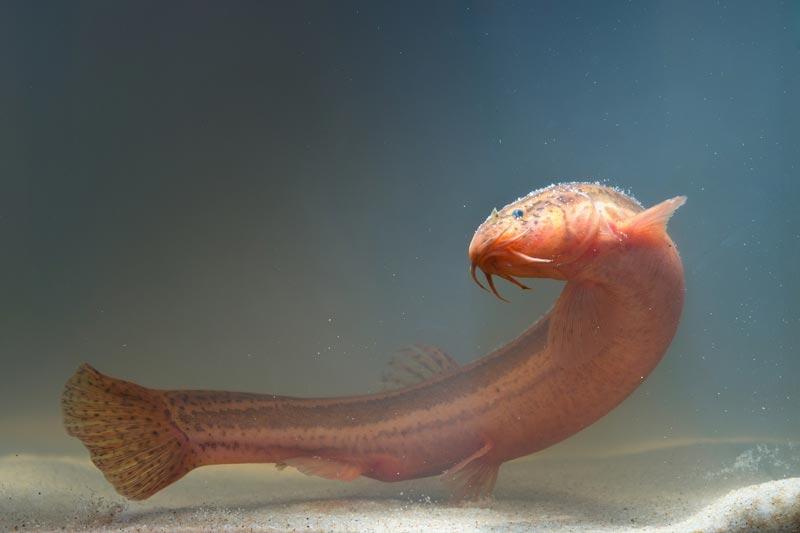 Большая рыба Вьюн