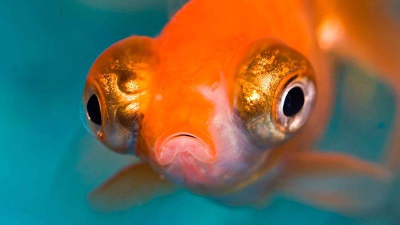 Телескоп или Золотая рыбка