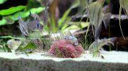 Трубочник: разведение корма для рыб в домашних условиях, описание