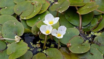 Аквариумное растение Водокрас: виды, фото и описание