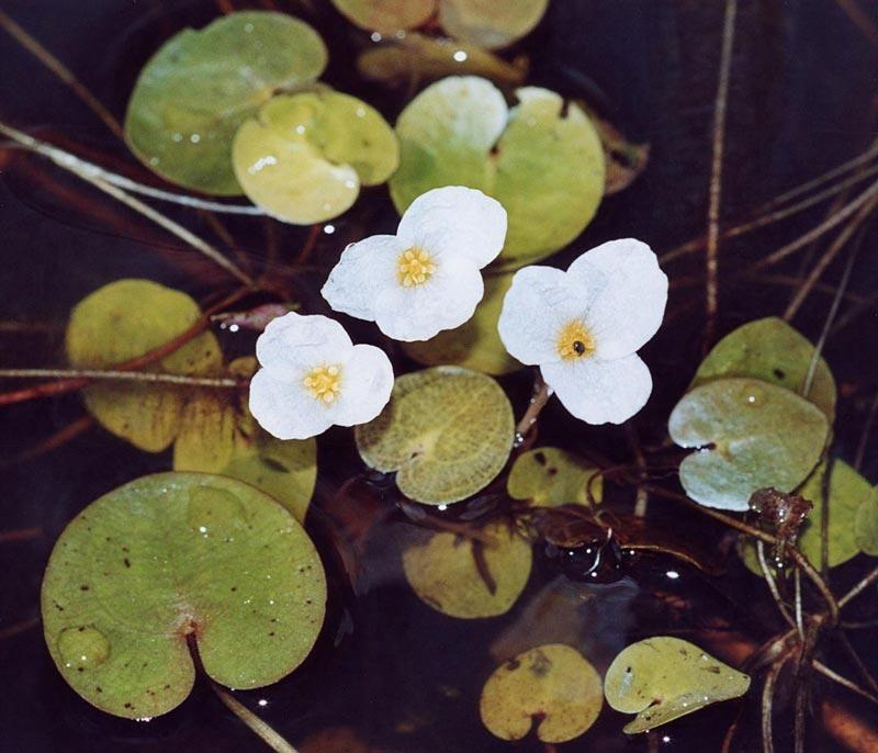 Три цветочка Водокраса