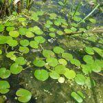 Зеленый Водокрас