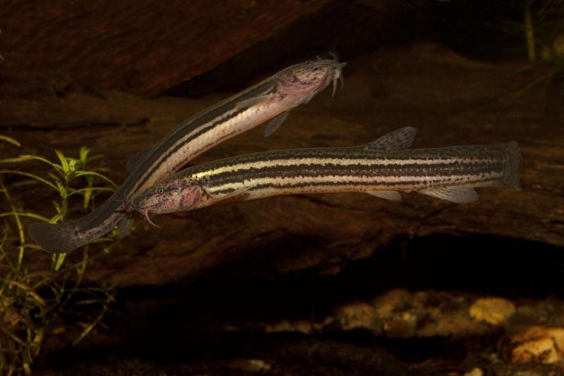 Две рыбки Вьюна