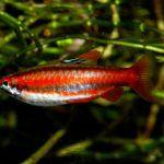 Оранжевая харациновая рыбка