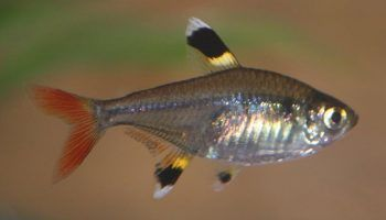 Харациновые рыбки