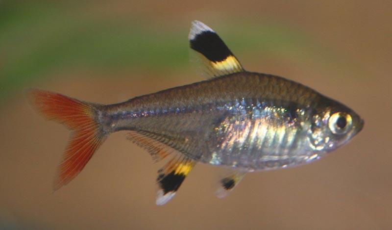 Харациновая рыбка