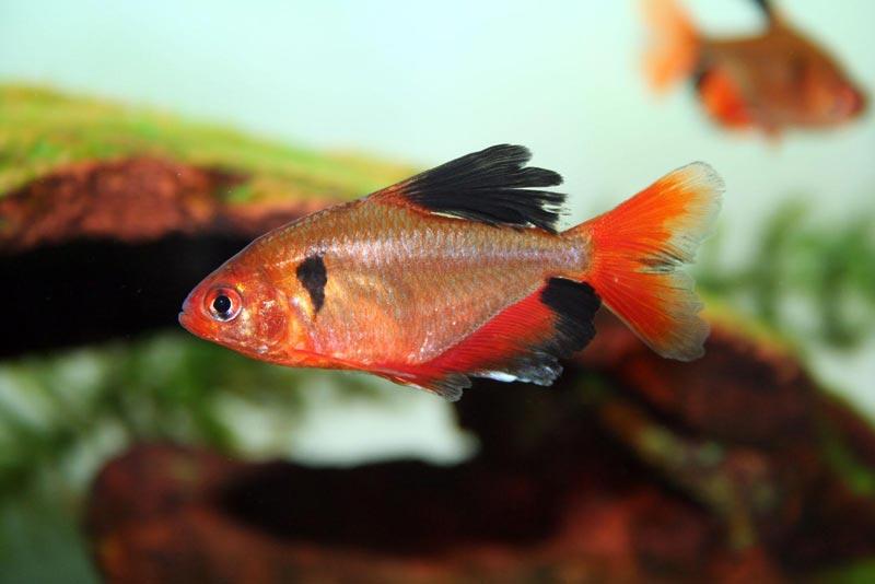 Черно-рыжая рыбка