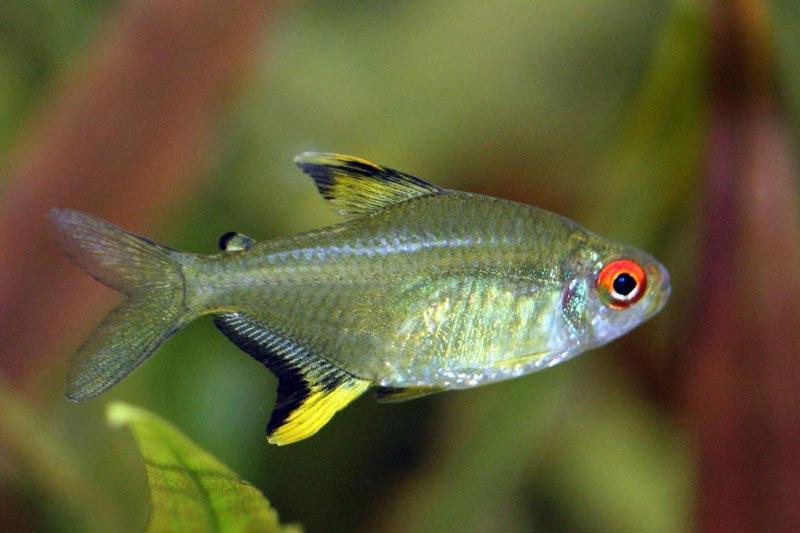 Рыбка с рыжим глазом