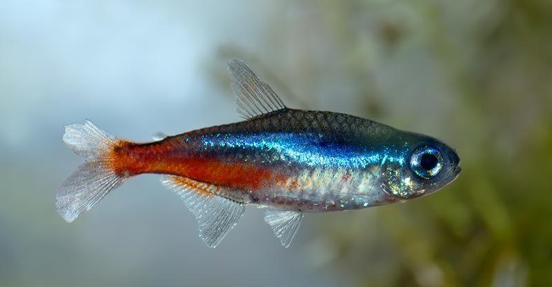 Синяя полоска у Харациновой рыбки