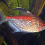 Оранжевая спинка Харациновой рыбки