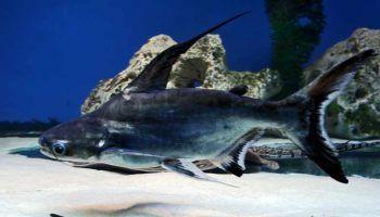 Пангасиус: всё о лучеперой рыбе, фото, среда обитания, чем питается
