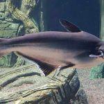 Серая рыбка Пангасиус