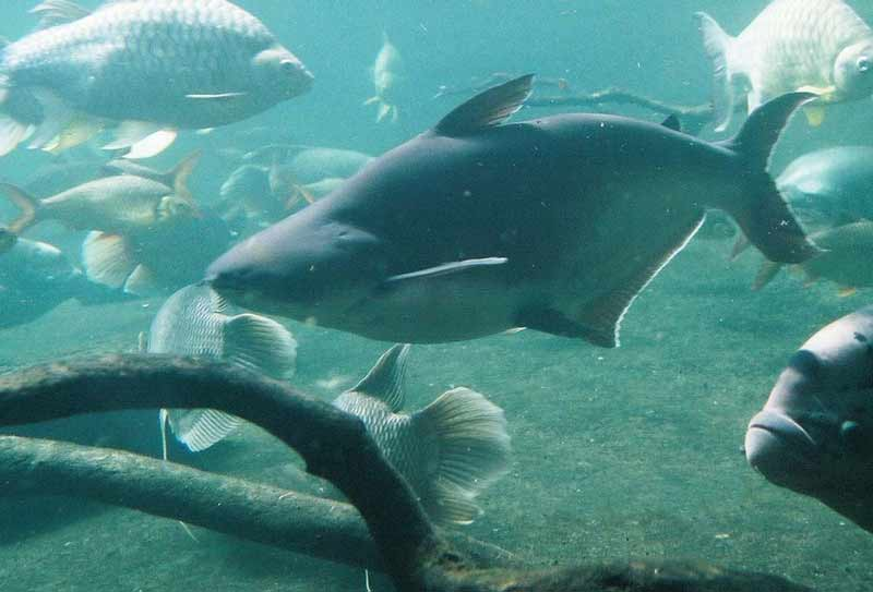 Пангасиус в воде