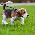 Собачка гуляет на поводке