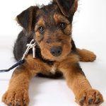 Послушный щенок на поводке