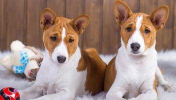 ТОП-28 пород собак, которые не линяют и не пахнут