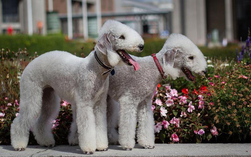 Две собаки бедлингтон