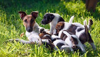 Корм для кормящих собак: чем кормить, чтобы было молоко