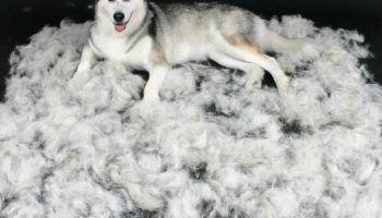 Линька у собак: когда бывает, виды, уход за питомцем