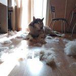 Много шерсти после собаки