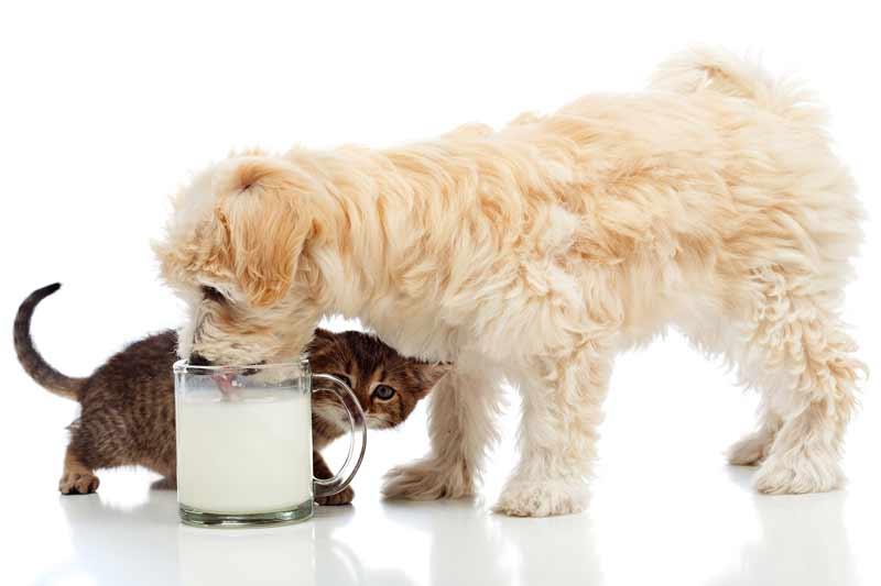 Собака пьет молоко