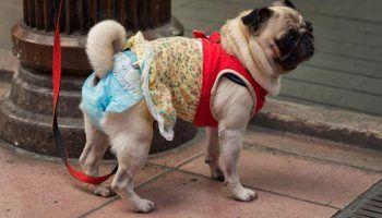 Памперсы для собак: как выбрать, надеть или сшить самим