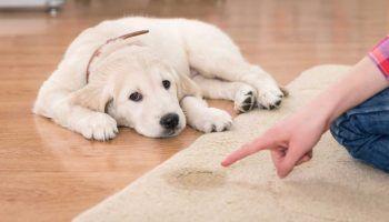 Недержание мочи у собаки после стерилизации и кастрации