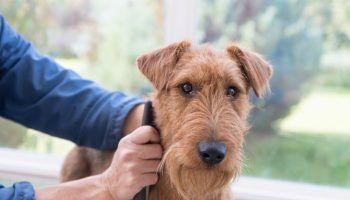 Тримминг собак и его отличия от стрижки