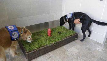 Лоток или туалет для собак, как правильно выбрать и приучить