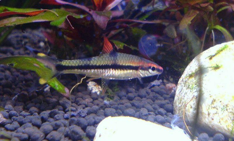 Рыбка барбус