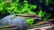 Барбус Денисони (Sahyadria denisonii): описание, содержание, 15 фото