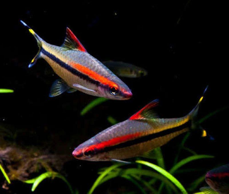 Две рыбки Денисони