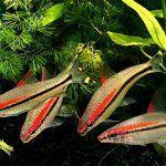 Маленькие барбусы денисони