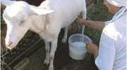 Сколько молока дает коза в сутки?