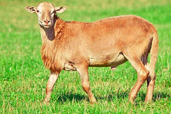 Катумская порода овец