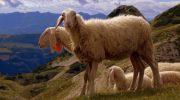 Молочные и мясные породы овец: какие бывают и как выбрать