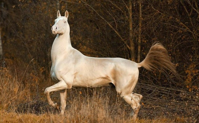 Обзор изабелловой масти лошадей, ее фото и описание