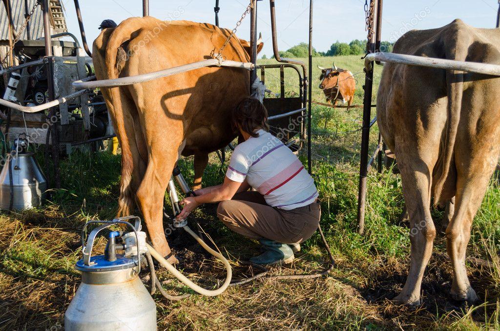 Корова не дается доиться бьет. как отучить корову лягаться во время доения? что будет, если не доить
