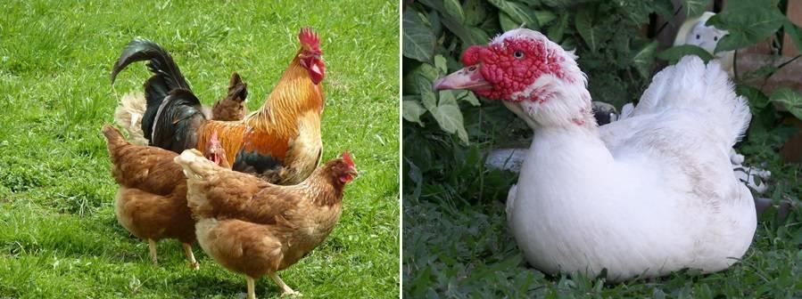 Продолжительность жизни курицы в дикой природе и в неволе