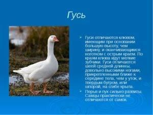 Как правильно провести забой гусей?