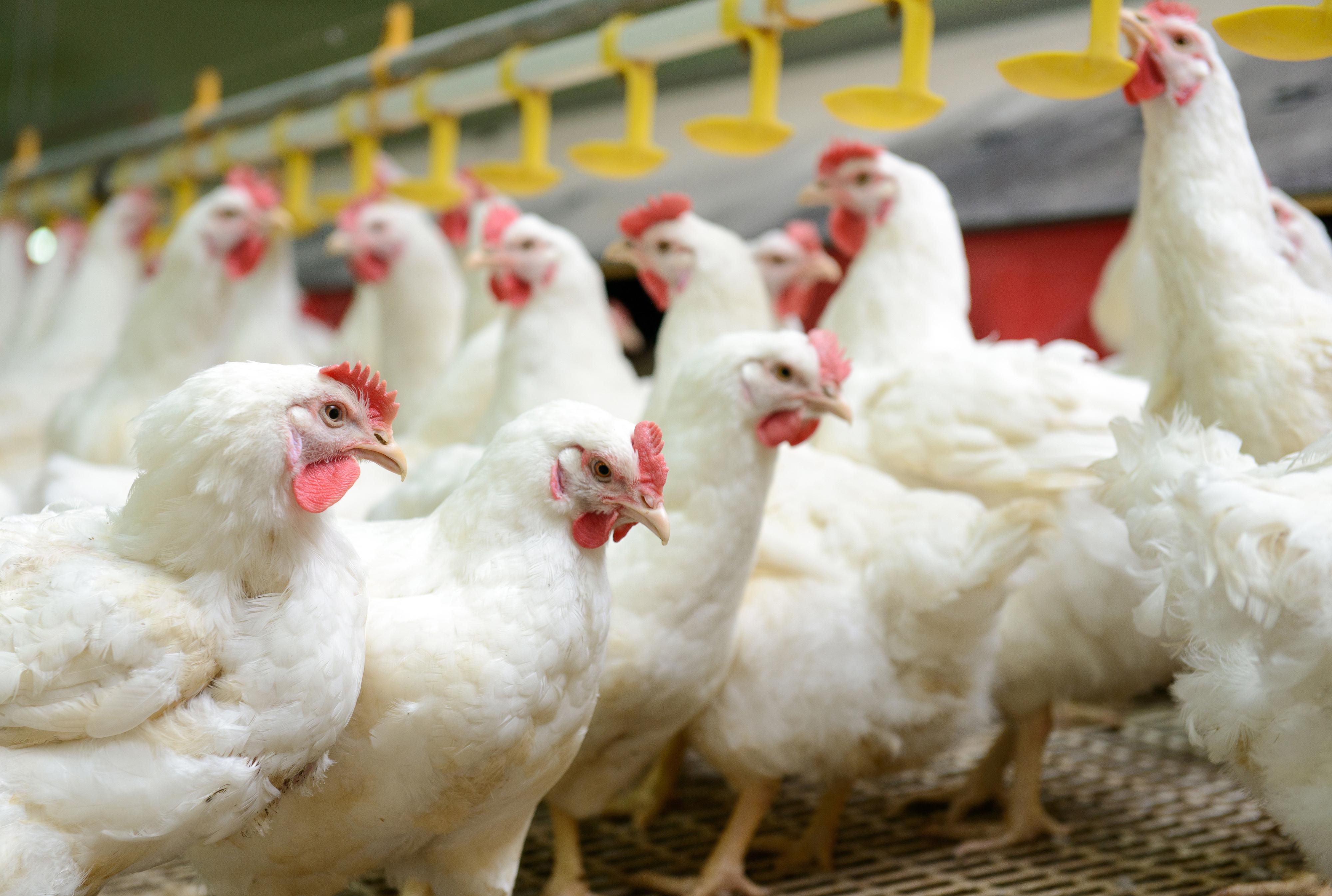 Как отличить цыпленка бройлера от простого: эффективные способы