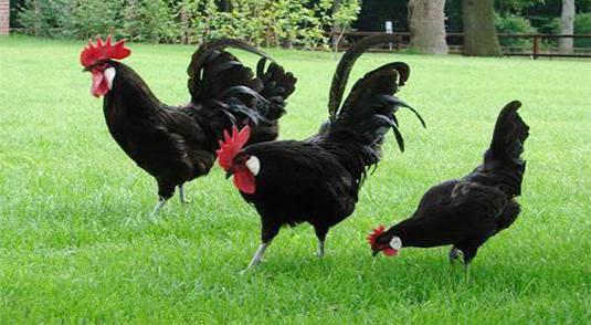 ✅ о породе кур барбезье: описание и характеристика, как отличить пол цыпленка - tehnomir32.ru