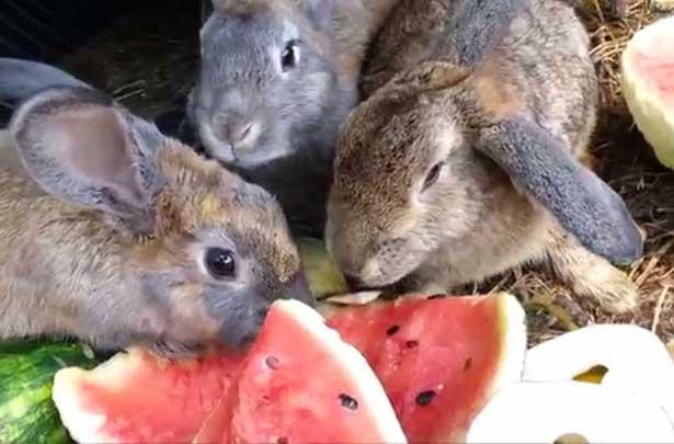 Можно ли кроликам арбуз или дыню и их корки