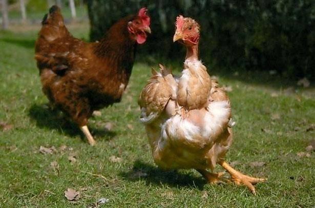 Куры выщипывают перья: что делать, если несушки едят перья друг у друга или из хвоста петуха, какие причины этого и что делать