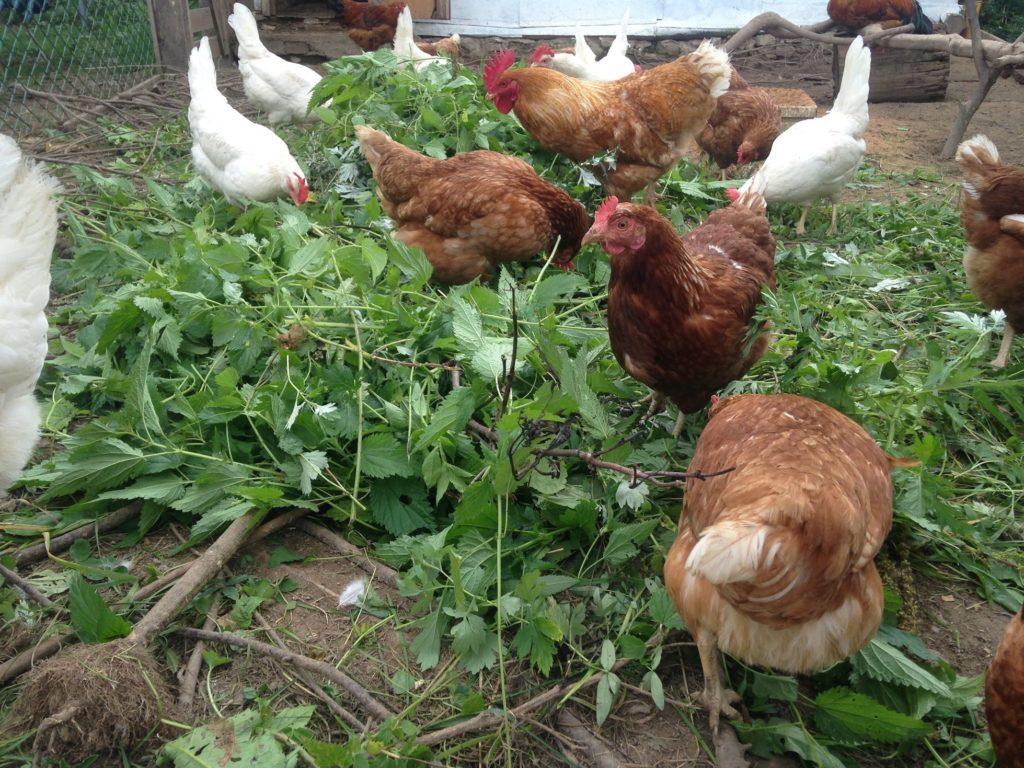 Чистотел для кур - советы и рекомендации птицеводов