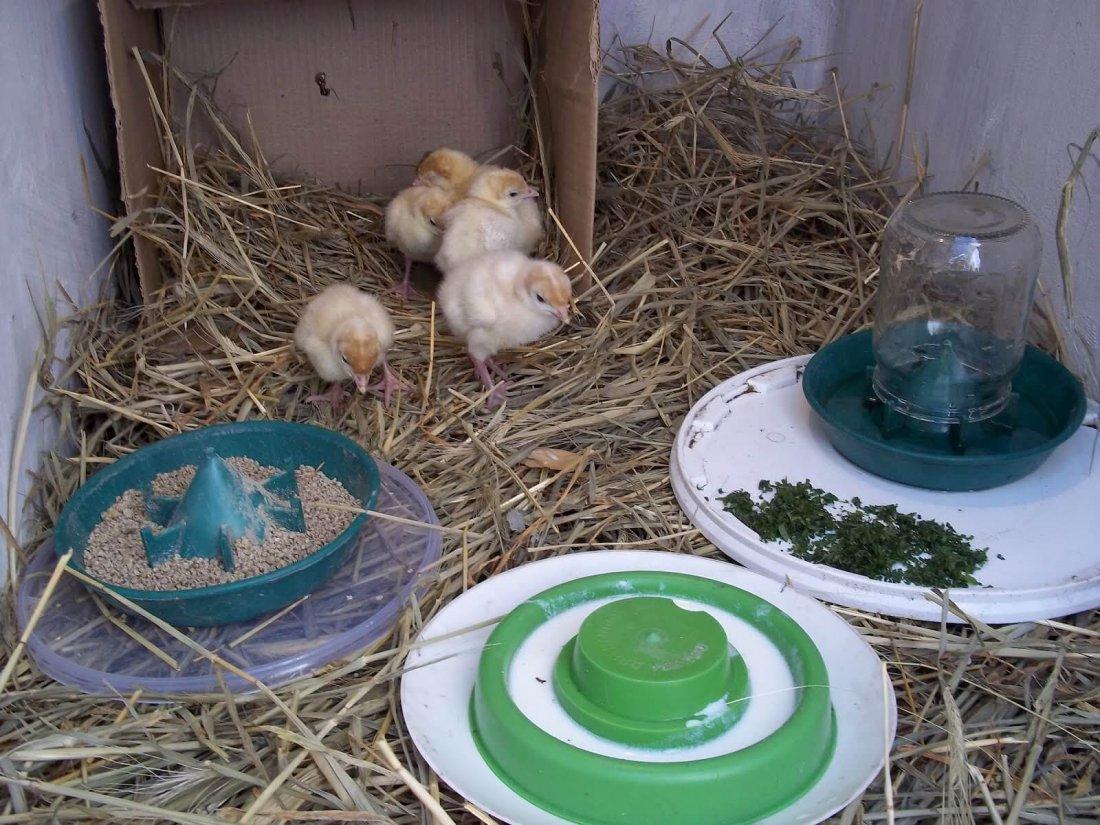 Чем кормить индюшат с первых дней жизни в домашних условиях