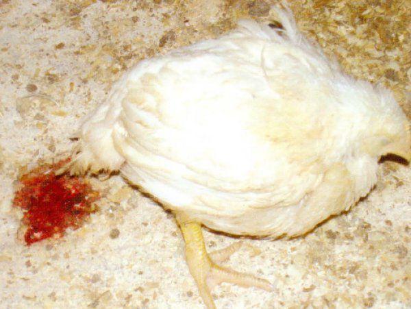 Желтый понос у кур: причины и лечение