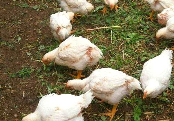Почему дохнут цыплята и чем их следует лечить?