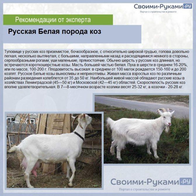 Придонская порода коз: описание, характеристики и все о содержании